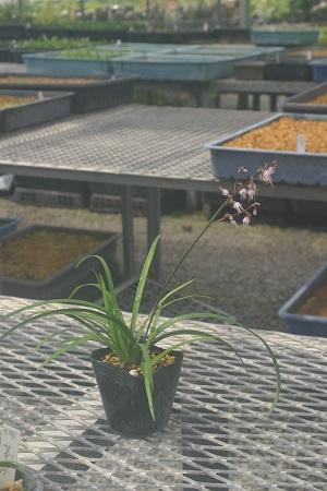 ケイビラン 直送商品 7.5cm~9cmポット 永遠の定番モデル 山野草