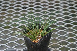 最新号掲載アイテム 新商品 ヒメセキショウ 姫石菖 7.5~9cmポット 山野草 寄せ植え
