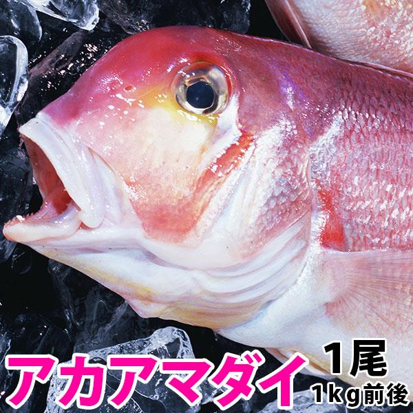 九州五島灘産の新鮮鮮魚を是非 アマダイ 100%品質保証 アカアマダイ 蔵 九十九島鮮魚 1kg前後1尾長崎産上質な白身の甘鯛をお腹いっぱい食べて下さい