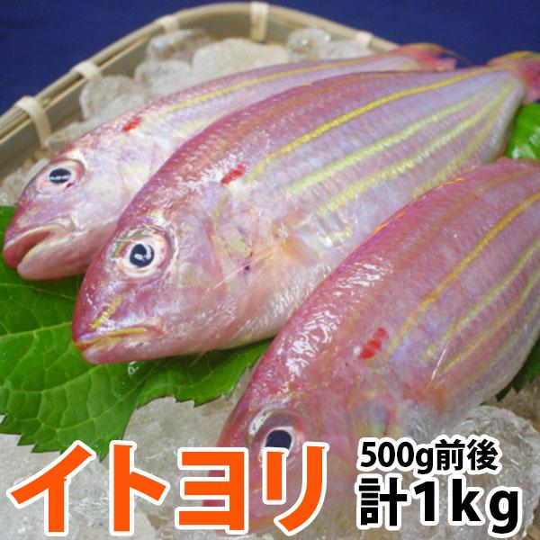 白身の高級魚 蒸し料理が一番美味しく頂けますよ~ イトヨリ いとより 五島灘で獲れた上品な味わいのイトヨリダイ九十九島鮮魚 今だけスーパーセール限定 計1.0kg前後 激安特価品 300~500g前後サイズ