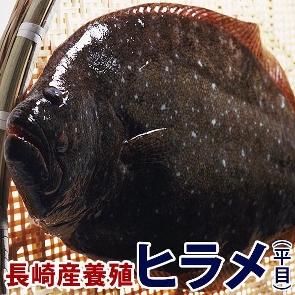 長崎県産ヒラメ 信頼 質の良いものだけを厳選しました 上品な味 交換無料 コラーゲンたっぷり 美肌効果抜群です 養殖ヒラメ ひらめ 1.3kg前後1尾長崎県五島灘の大自然で育った美味しいヒラメをどうぞ 九十九島鮮魚