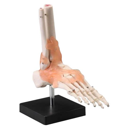 【代引き・同梱不可】人体模型シリーズ 足関節模型【スケール・測定】