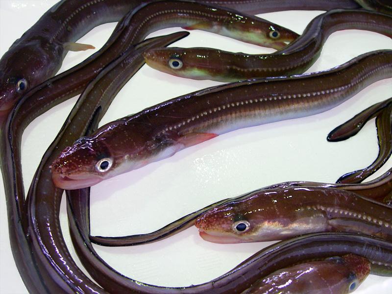 『淡路島産』最高級天然穴子500g漁港直送!漁師とれたての品を漁港より直送しますこちらで開いてからお届け致します   【お取り寄せマップ 兵庫】