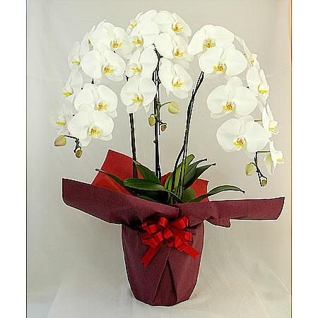 送料無料 豪華な大輪の胡蝶蘭 胡蝶蘭 3本立ち 低価格化 30輪 ラッピング 陶器鉢 白系 スーパーセール