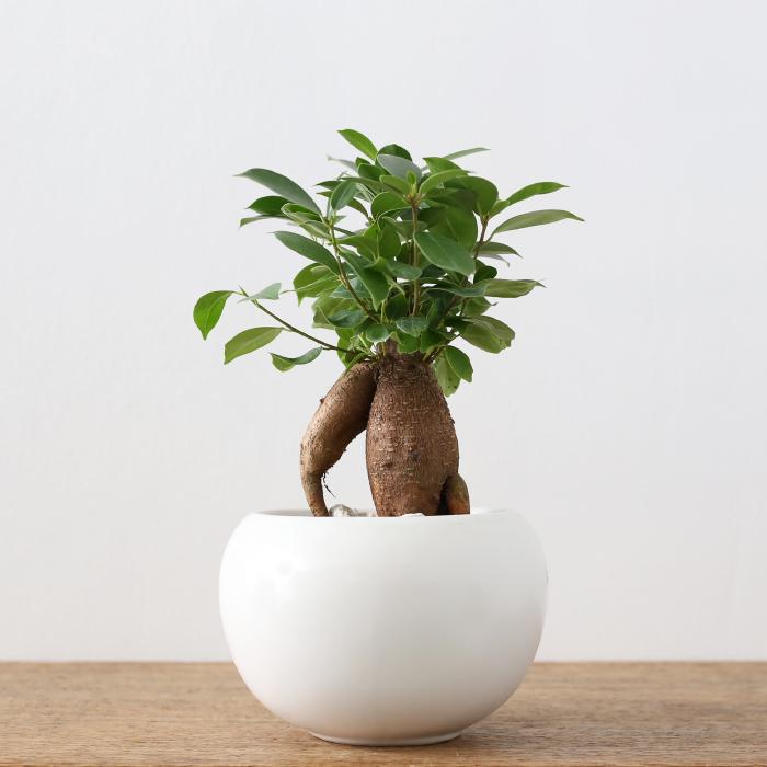 人気観葉植物ガジュマル