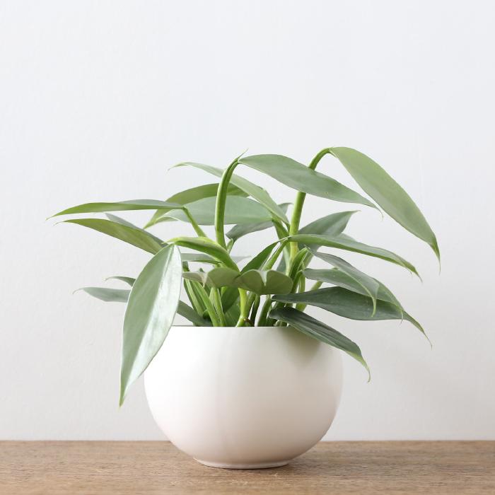 人気観葉植物フィロデンドロン