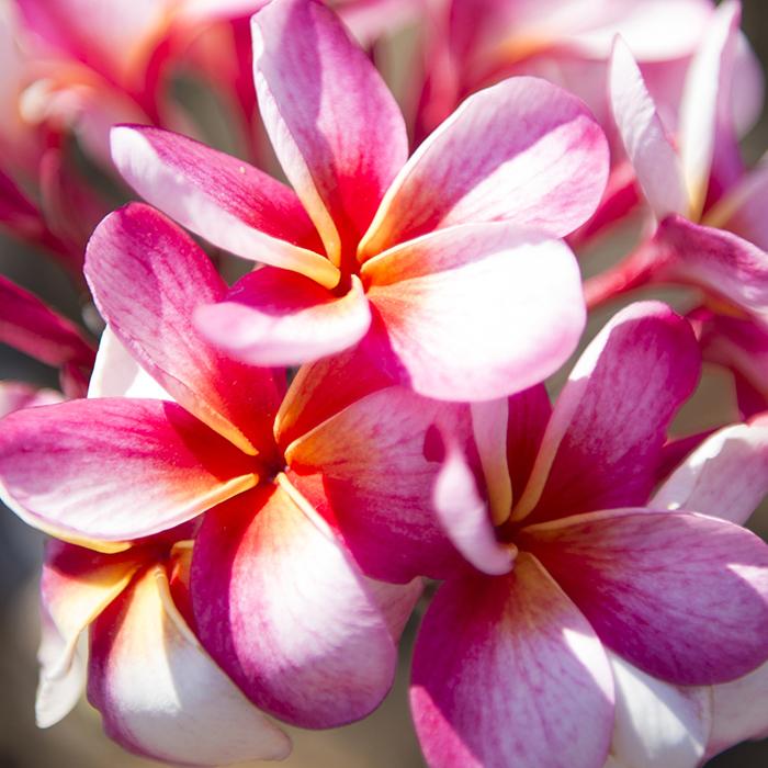 【Hawaiian Plants】ハワイアンプランツ:Plumeria プルメリア 鉢植え 5号 ピンク/レッド