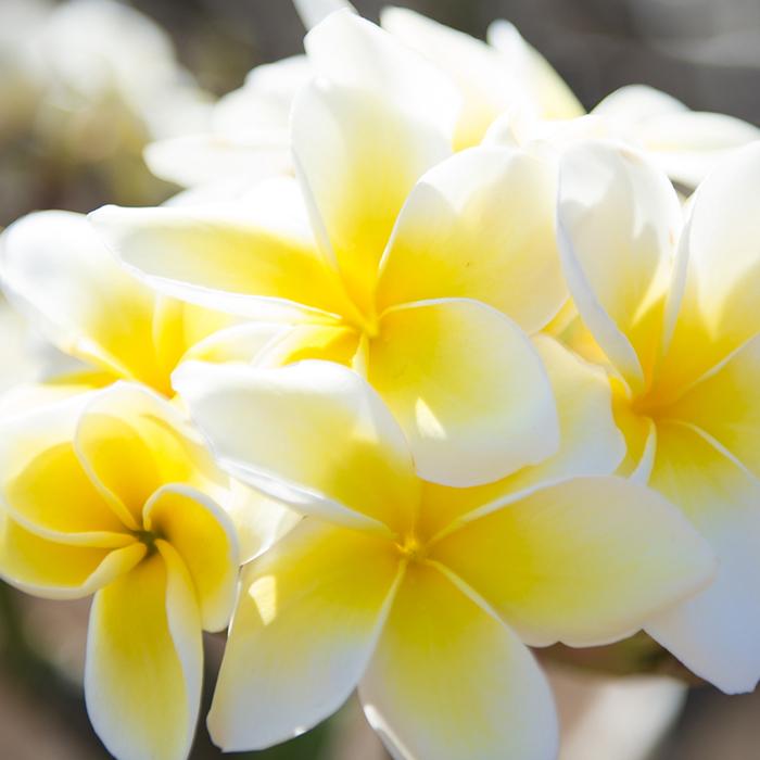 【Hawaiian Plants】ハワイアンプランツ:Plumeria プルメリア 鉢植え 5号 ホワイト/イエロー