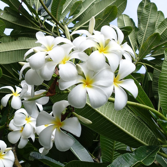 【Hawaiian Plants】ハワイアンプランツ:Plumeria プルメリア 鉢植え 5号 ホワイト