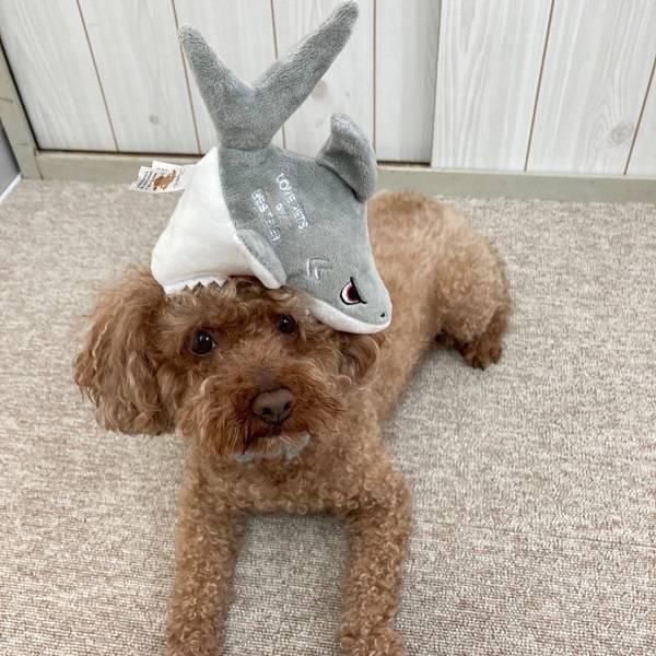 犬のおもちゃ|スクィーキーシャーク【ベストエバー犬のおもちゃLovePetsbyBESTEVER音が鳴るかわいいおもしろペット用】【ラッピング無料対応可】
