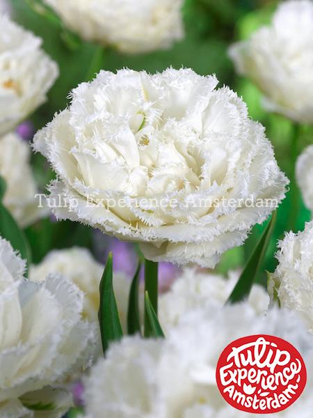 オランダ ガーデニング 園芸 花壇 耐寒性 庭 鉢植え 庭植え 育てやすい 植物 おしゃれ 切り花 植えっぱなし 【球根】チューリップ 'スノークリスタル'(1袋/8球入)【Dグループ】 予約商品:9月上旬頃より順次出荷開始TULIPA 'Snow Crystal'