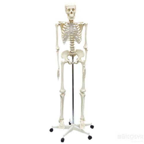 人体骨格模型 160cm 送料無料[メール便不可](生物 模型 夏休み 冬休み 理科 自由研究セット 工作キット)