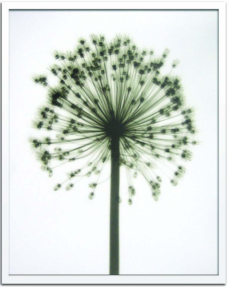 アートフレーム スティーブン・メイヤーズ Steven N.Meyers Allium ism-14361 絵画 壁掛け おしゃれ 送料無料