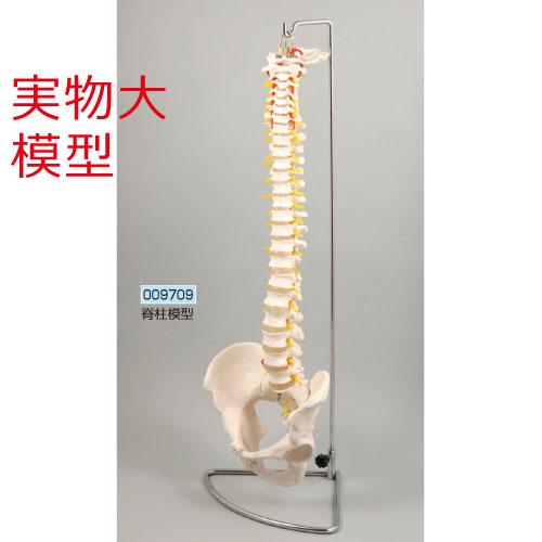 脊柱模型 送料無料[メール便不可](生物 模型 人体模型 解剖模型 メディカル)