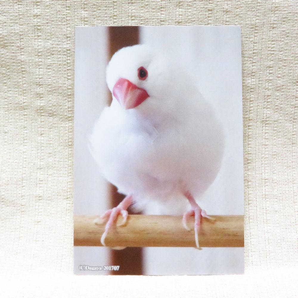 だが屋 ポストカード 白文鳥 倉 安心の実績 高価 買取 強化中 2 083A0238 ネコポス 対応可能 BIRDMORE バードモア CRAFT 鳥 GARDEN キンカ トリ インコ プレゼント とり 鳥グッズ 文鳥 鳥用品