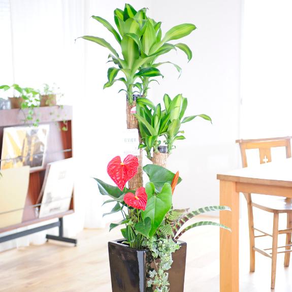 多目的にご利用頂ける祝い用植物!鮮度抜群・産直品をお届け!重量感ある黒い陶器鉢に季節の植物を寄せ植えに♪観葉植物 寄せ植え 8号 ※黒角高陶器鉢(角皿付)【送料無料・ギフト対応可】