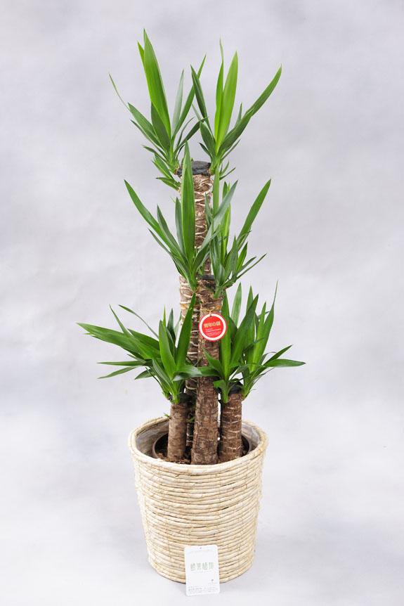 ワールドコーポレーション 観葉植物 ユッカ・エレファンティペス