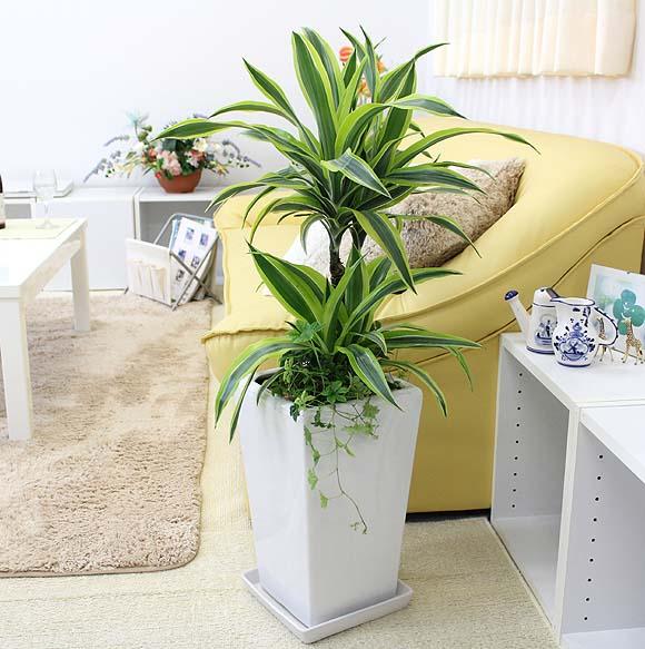 ドラセナ デレメンシス レモンライムのホワイト陶器鉢 7号+シュガーバイン 寄せ植え「ストレート」