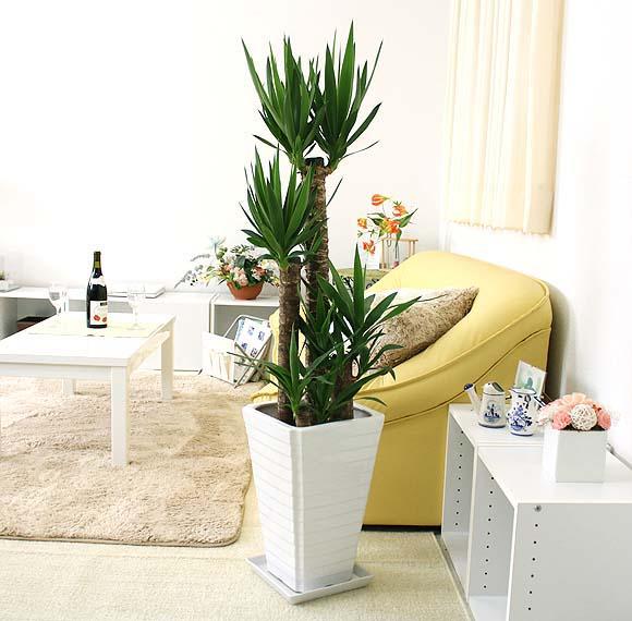 青年の木(ユッカ) 8号+ホワイトスクエア陶器鉢 Gタイプ|大型サイズの観葉植物