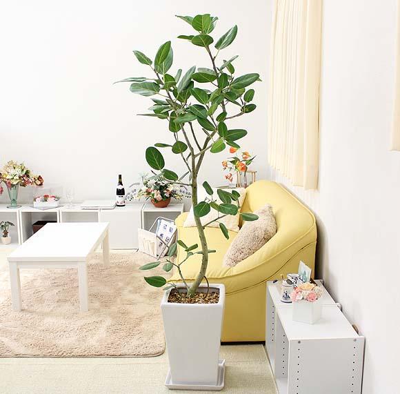 【送料無料】珍しい♪フィカス ベンガレンシス 10号 スクエアホワイト陶器鉢 大型サイズの観葉植物