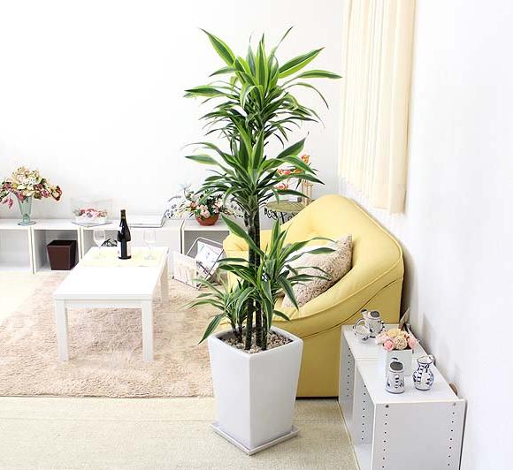 珍しい!ドラセナ デレメンシス レモンライム 10号 ホワイトスクエア陶器鉢