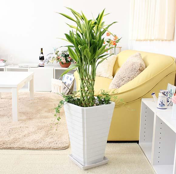 【送料無料】開運竹 8号 スクエア陶器鉢+シッサス シュガーバイン寄せ植え Gタイプ|中型サイズの観葉植物