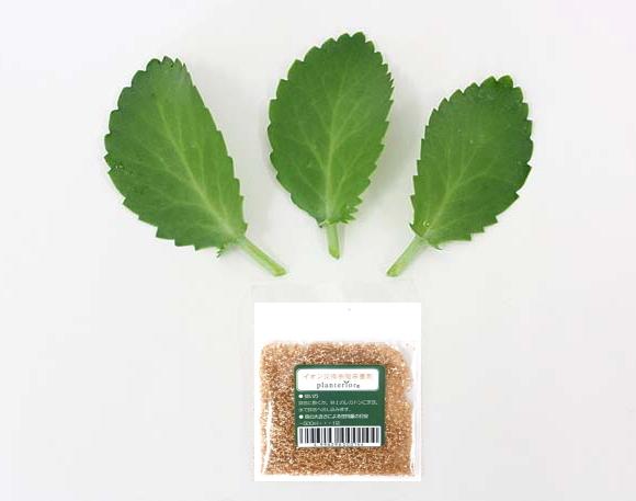 幸福の葉っぱ(マザーリーフ) 3枚セット「他との違いはもぎたてフレッシュで出荷」+イオン交換樹脂肥料