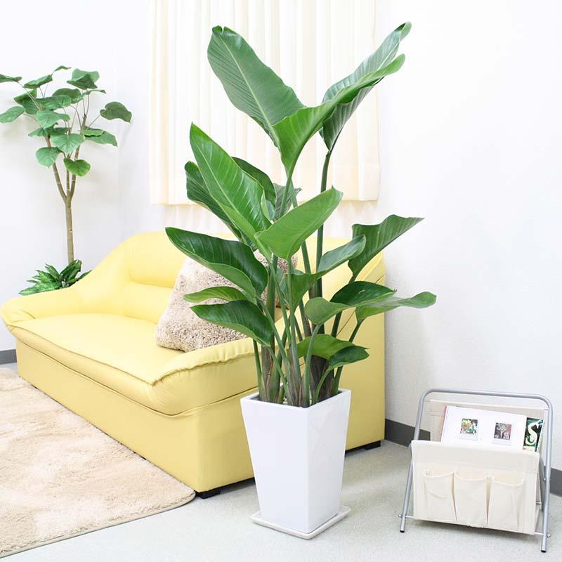 【送料無料】オーガスタ 8号 選べるスクエア陶器鉢 ストレート|大型サイズの観葉植物