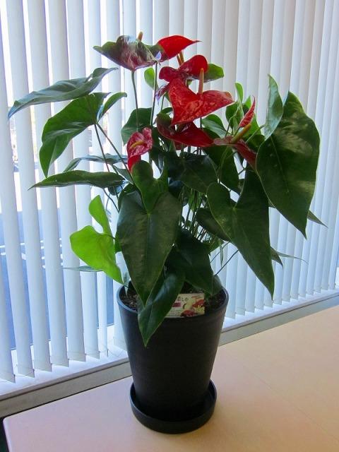 アンスリウム(アンスリューム)赤 10号鉢(尺鉢)四季咲きで花持ちが良く涼しげでギフトとして大変喜ばれている人気商品です。大変大きく高さもありお部屋のインテリアとして置いて頂くと一段と華やかになります。開店祝い、新築祝いなどにもおすすめです。【smtb-s】
