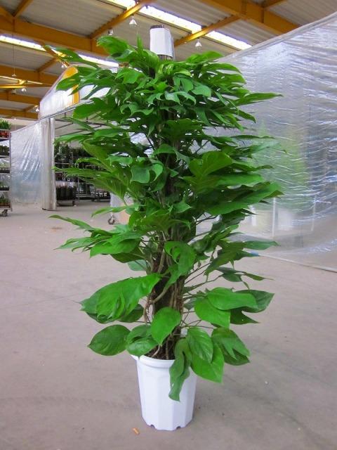 マングーカズラ 10号鉢(尺鉢)葉のボリュームもあり、エントランスなどでの豪華なウエルカムグリーンに最適です。強健で、耐陰性、耐寒力が強くお手入れが簡単です。雑誌やテレビ等のインテリアで度々利用されている人気の観葉植物です。【smtb-s】