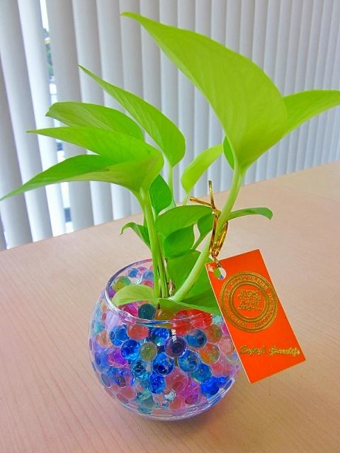 ハイドロカルチャー 観葉植物 バブ10 ゼリー 素敵なデザインでインテリアにオススメですインテリア 贈り物 ギフト 水耕栽培 鉢 母の日 お誕生日 記念日 開店祝いfsp2124 6fブルーミンググレイス