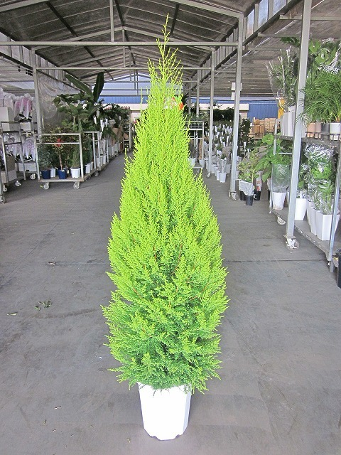 ゴールドクレスト・ウィルマ(10号)もみの木の代わりとして、クリスマスシーズンに大人気の観葉植物です。かわいいオーナメントを付けて、クリスマスツリーを楽しみませんか。【smtb-s】