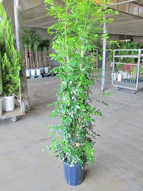シルクジャスミン 10号 ゲッキツ 月橘 観葉植物 鉢植え 販売 苗 苗木 送料無料 インテリア 贈り物 ギフト お誕生日 記念日 開店祝い