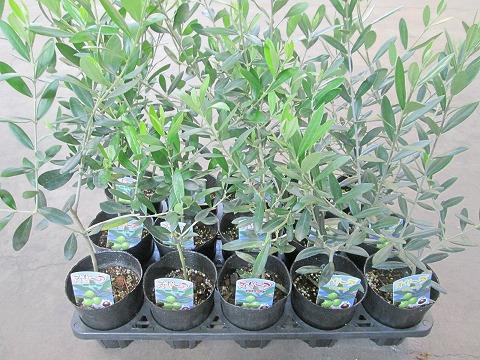 オリーブ 3.5号 15鉢 アソート 観葉植物 植木 庭木 インテリアグリーン ギフト プレゼント シンボルツリー 販売 鉢植え