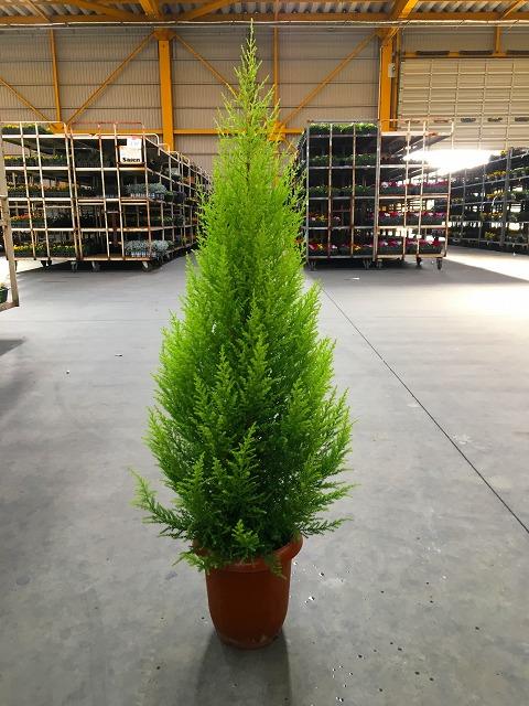ゴールドクレスト 10号 もみの木の代わりとして、クリスマスシーズンに大人気の観葉植物です。かわいいオーナメントを付けて、クリスマスツリーを楽しみませんか。【smtb-s】