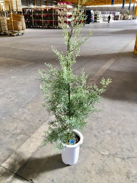 コニファー 1着でも送料無料 ブルーアイス 8号 観葉植物 人気ブランド 鉢植え 苗 涼しげ 販売 苗木 木 送料無料
