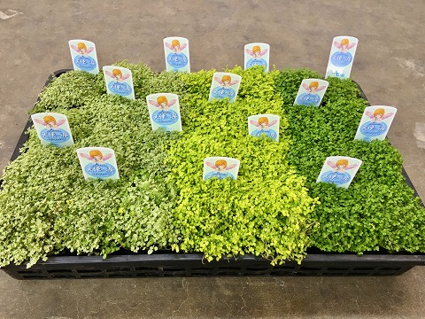 ベビーティアーズ 3号ポット 3種24鉢セット 天使の涙 ソレイロリア とってもかわいいミニサイズの観葉植物です。プラスチックの鉢にミニサイズのベビーティアーズが24鉢入っているのでいろいろな場所に飾れます。【smtb-s】
