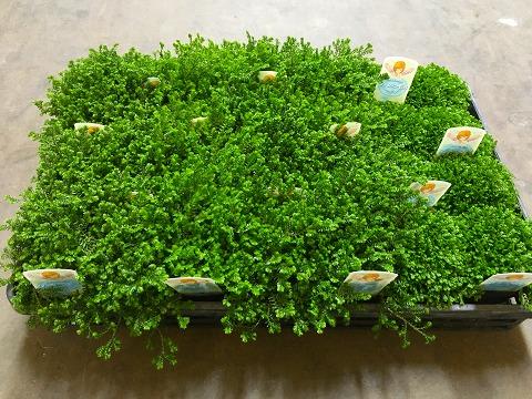 クッションモス 3号ポット 3種24鉢セット セナギネラ セイヨウイワヒバ とってもかわいいミニサイズの観葉植物です。プラスチックの鉢にミニサイズのセラギネラが24鉢入っているのでいろいろな場所に飾れます。【smtb-s】