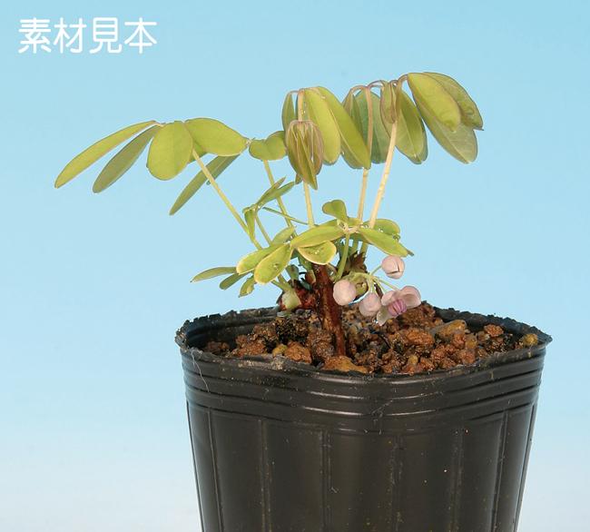 上等 盆栽素材 雑木 あけび 実物 苗木 有名な 盆栽☆盆栽彩都☆ 一才あけび