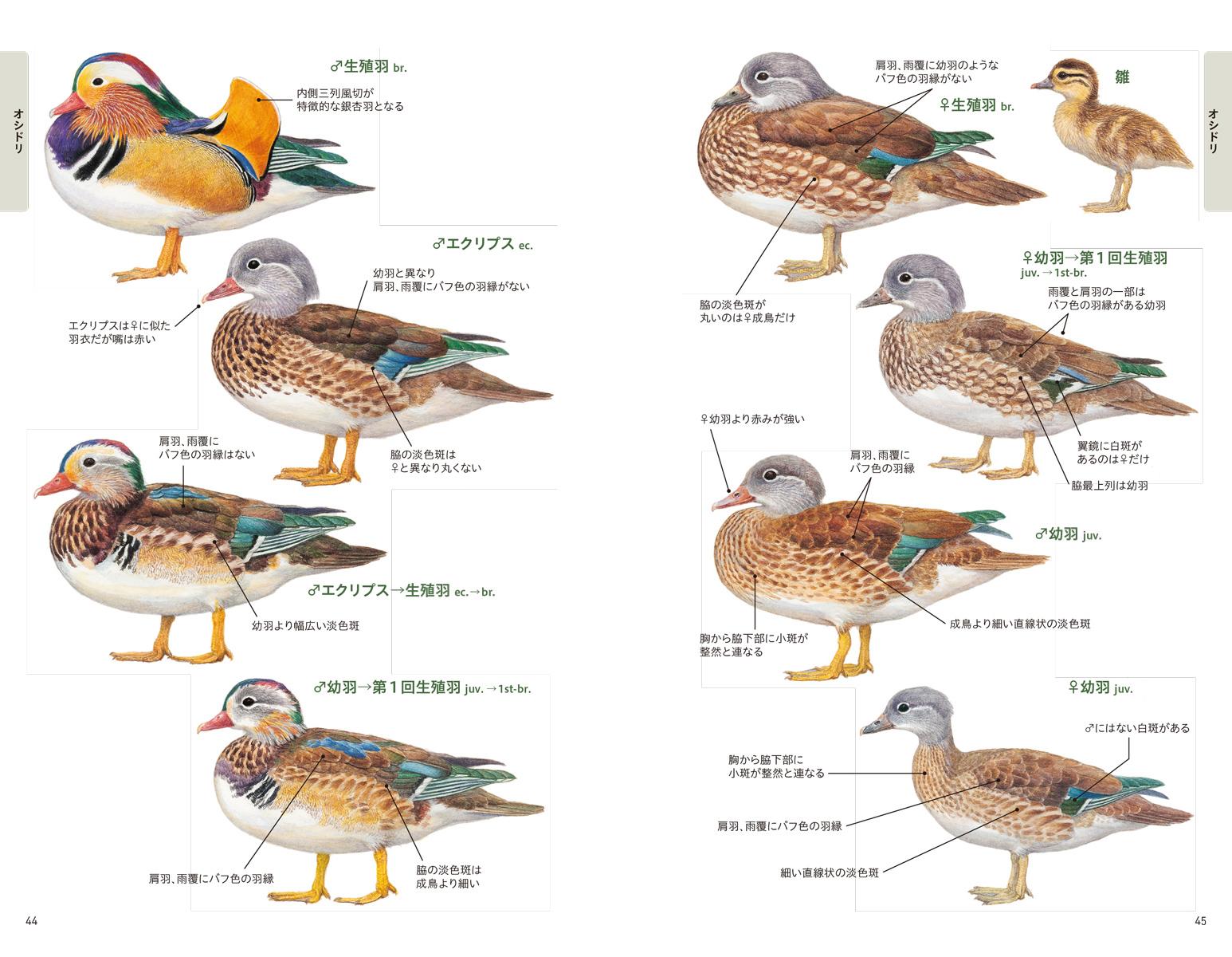 楽天ブックス 日本のカモ識別図鑑 日本産カモの全羽衣をイラストと