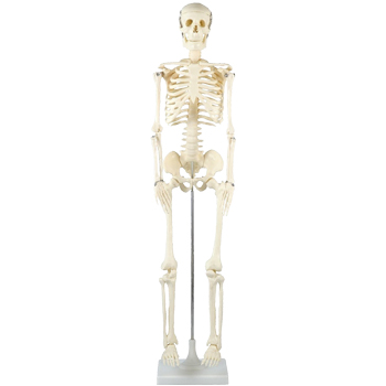 アーテック 人体骨格模型 85cm 008850