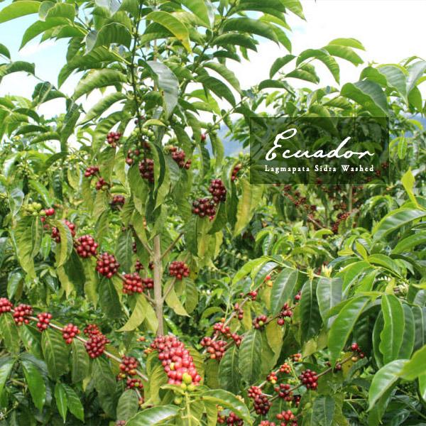 エクアドルの国内コンペティションTaza Doradaで優勝を果たした有名農園 エクアドル ラグマパタ ウォッシュド お好きな銘柄2つ選んで送料無料対象商品 250g 国際ブランド シドラ 大注目