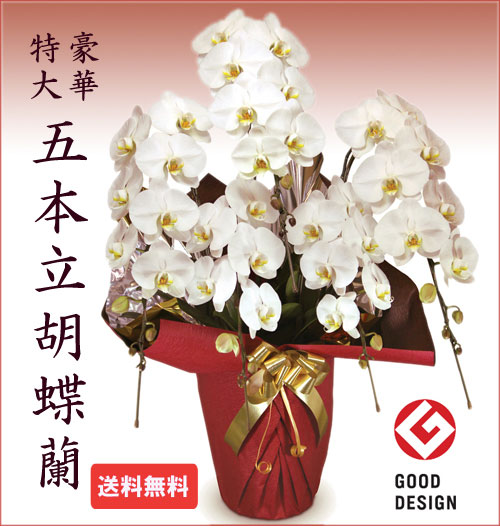 胡蝶蘭 お祝い 5本立ち 大輪 開業 開店 移転 昇進 当選祝い 誕生日 立て札付 豪華贈答品