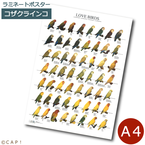 ラミネートポスター A4サイズ ラブバード1 安心と信頼 超特価SALE開催 コザクラインコ