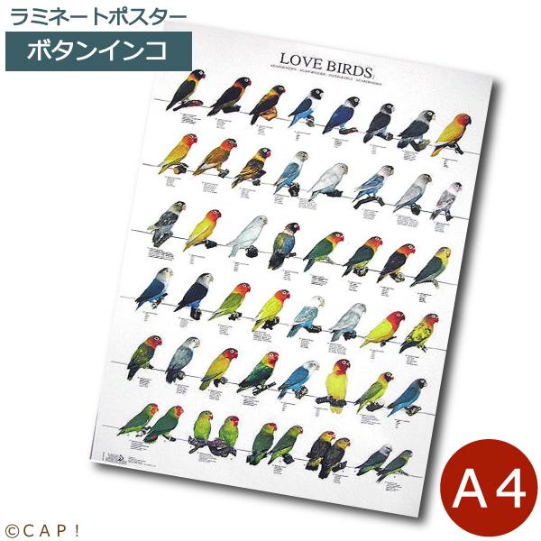 ラミネートポスター 公式ショップ A4サイズ ラブバード2 送料無料激安祭 ボタンインコ