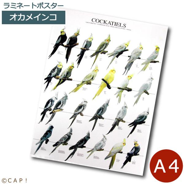 ラミネートポスター A4サイズ ランキングTOP10 ランキングTOP10 オカメインコ