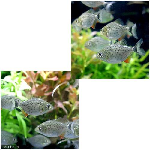 (熱帯魚)ピラニア・ナッテレリー Sサイズ(ブリード)(10匹) 北海道・九州・沖縄航空便要保温