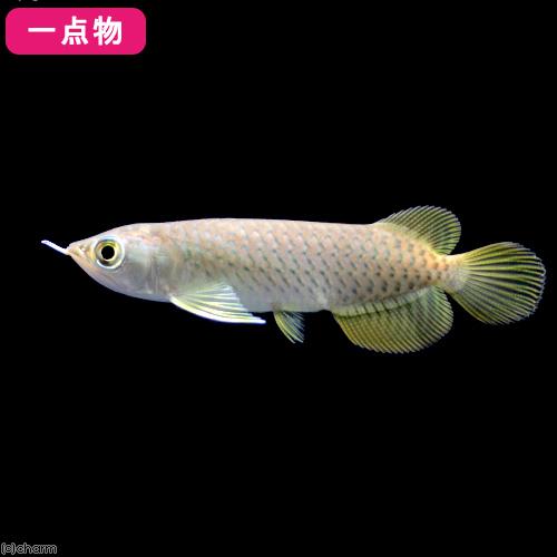(熱帯魚)一点物 アジアアロワナ バンジャールレッド MITRA産(1匹) 沖縄別途送料 北海道航空便要保温