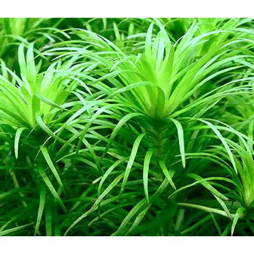 (水草)トニナsp.ラーゴグランデ(無農薬)(6本)