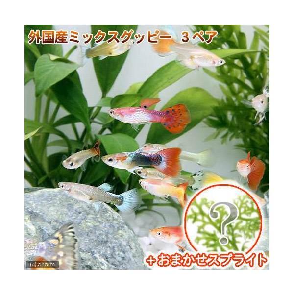熱帯魚 水草 外国産ミックスグッピー 3ペア 特売 北海道航空便要保温 スプライト1種 3株セット 人気